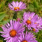 Wild Asters by Shulie1