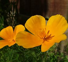 Pair of Californian Poppies by Emerald-Cat