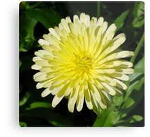 Pale Yellow Mary Bud Marigold With Garden Background Metal Print