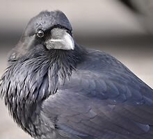 Old Faithful Raven Portrait by DWMMPhotography