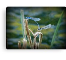 Familiar Bluet Damselfly Pair Canvas Print