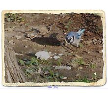 Blue Jay (6) Photographic Print