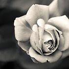Rose by Tony Shaw