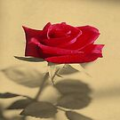 Red Rose Flower Isolated on Sepia Background by taiche