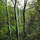Birch Tree Lines by Deb Fedeler