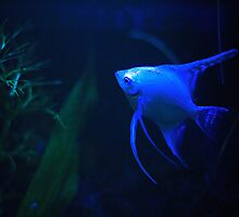 Platinum Angelfish (XL Poster) by whaturthinking
