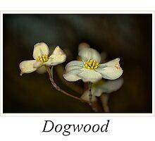 Dogwood by Thomas Warner