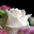 Rose by WendyM83