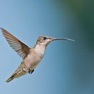 Hummingbird in Hover Mode by Bonnie T.  Barry