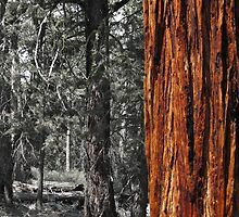Sugar pine trunk in the woods- Tahoma by David Chesluk