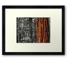 Sugar pine trunk in the woods- Tahoma Framed Print