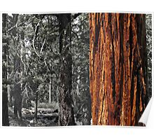 Sugar pine trunk in the woods- Tahoma Poster