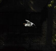 Great Egret In Flight by Thomas Young