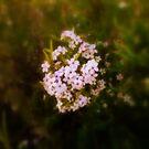 blossom by amberrobertson