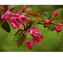 Cherry Blossom Branch Photographic Print