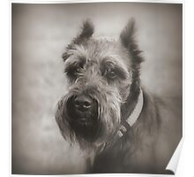 Bearded Dog Poster