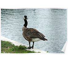 Canada Goose Standing Beside a Lake Poster