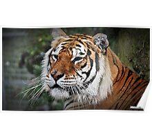 """ The Amur Tiger"" Poster"