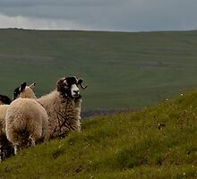 Sheep on a Yorkshire hillside by Judi Lion