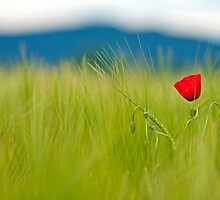 Red poppy by LexiTheMonster