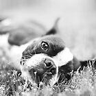 Lazy Sunday Boston Terrier by Stephanie Sherman
