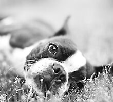 Lazy Sunday Boston Terrier by Stephanie Sherman