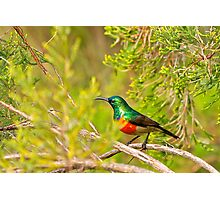 Greater Double Collared Sunbird Photographic Print