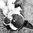 Boston Terrier by Stephanie Sherman
