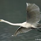 """The Great Egret in flight."" by debjyotinayak"