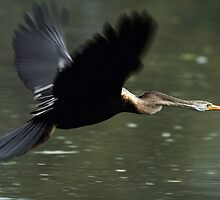 """The Darter (Snake Bird) in flight."" by debjyotinayak"
