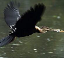 """The Darter (Snake Bird) in flight."" by debjyotinayak"