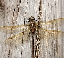 Yellow Dragonfly on Gray Log by rhamm