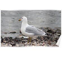 Herring Gull Gazing Over the Water Poster