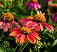 Coneflowers 3 by Photopa