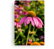 Coneflower 6 Canvas Print
