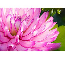 Pink and Purple Flower Photographic Print