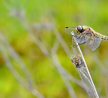 Resting Female Chaser   [PVL ] by relayer51