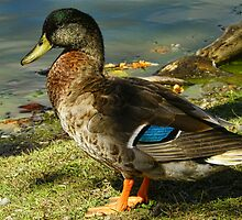 The Dabbling Duck by PineSinger