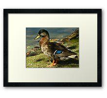 The Dabbling Duck Framed Print