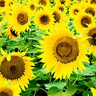 Sunflowers by Photopa