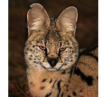 A Serval Cat Photographic Print