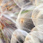 Dandelion by LawsonImages
