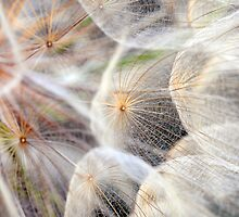 Dandelion by LawsonImages