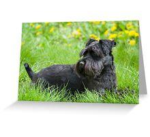 Black Miniature Schnauzer Dog Greeting Card