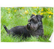 Black Miniature Schnauzer Dog Poster