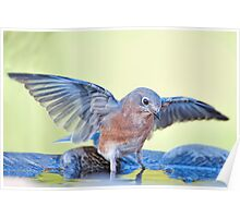 Bathing Bluebird Poster