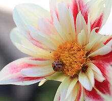 Ladybug on a flower by karencadmanfoto