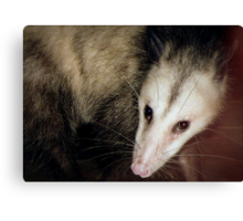 Opossum, Sweet Possum Canvas Print