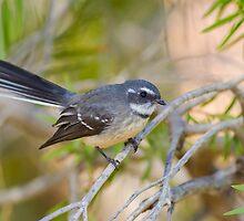 Grey Fantail (Rhipidura albiscarpa) by Michaela Newman