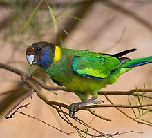 Twenty-eight Parrot (Barnardius zonarius semitorquatus) by Michaela Newman
